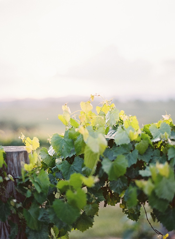 vineyard leaves at sunset